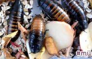 Metodika pro hodnocení rezistence obalových fólií před poškozením skladištními škůdci